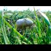 Мицелий Вешенки Чаудинский гриб (Pleurotus nebrodensis)