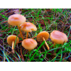 Мицелий Опенка лугового / Луговик (Marasmius oreades)