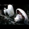 Мицелий Шампиньона двукольцевого / Шампиньон четырехспоровый (Аgaricus bitorquis)