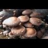 Мицелий Шиитаке штамм ТЛ-4080 (Lentinula edodes)