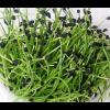 микрозелень лук Шнитт
